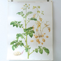 BOTANICAL WALL Chart, Swiss Original, School Poster, Printed in Switzerland, Potato Plant, 1960s Wall Hanging, Pull Down, Marta Seitz