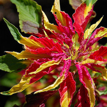 Organic 600 Seeds Amaranthus Tricolor Red Yellow Green Josephs Joseph's Coat Garden Tassel Flower Bulk B9002