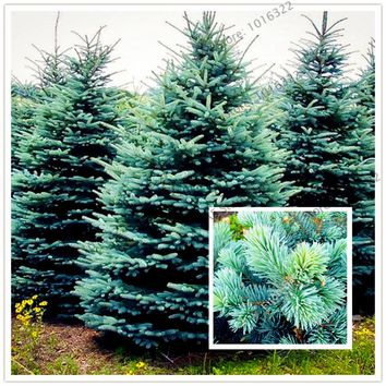 50pcs/bag Spruce tree seeds Home Garden Plant Evergreen Colorado Blue Spruce Tree Courtyard planters