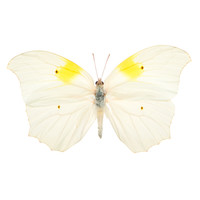 Anteos clorinde, Ghost Brimstone Butterfly