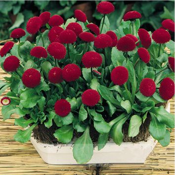 50 seeds/pack hot selling Red Daisy Seeds for home garden flower