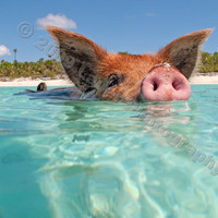 8x10 'Piggy Paddle' Swimming Pig Fine Art Photo by silvermoonphoto