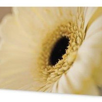 Cream Gerbera 5x7 Blank Greeting Card, Perfect for all occasions