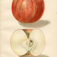 Red Apple Antique Fruit Print, Original Color Lithograph Plate, Circa 1904