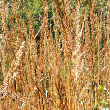 The Dirty Gardener Sorghastrum Nutans Osage Indian Grass Seed - 250 Seeds