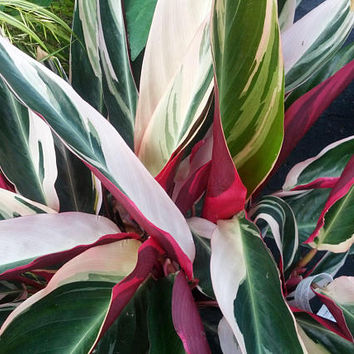 "Tricolor Prayer Plant - Stromanthe Triostar - Easy to Grow House Plant - 4"" Pot"