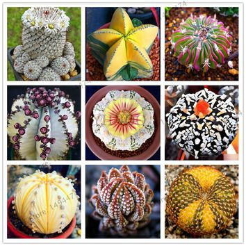 200 pcs/bag Real mini succulent cactus seeds rare succulent perennial herb plants bonsai pot flower seeds indoor plant for home